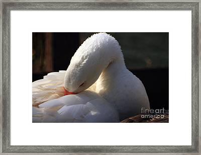 Preening Goose Framed Print