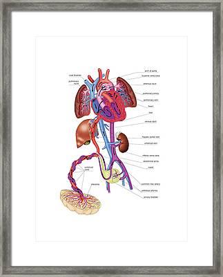 Pregnancy Blood Circulation Framed Print by Asklepios Medical Atlas