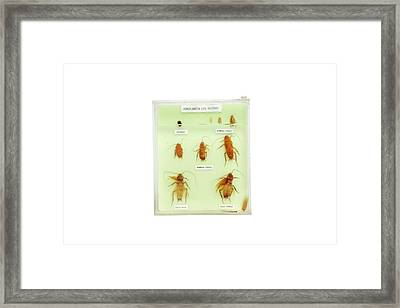 Preserved Cockroach Life Cycle Framed Print by Gregory Davies