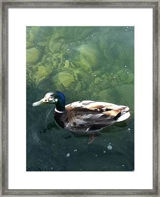 Pretty  Duck Framed Print by Deb Groesbeck