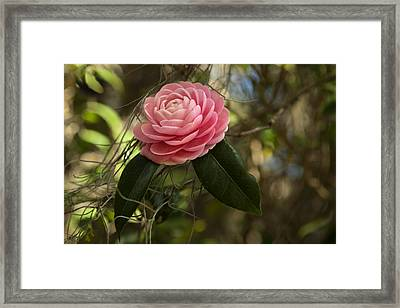 Pretty In Pink Framed Print by Frank Feliciano