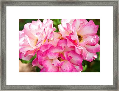 Pretty Pink Roses Framed Print by Bobbi Feasel