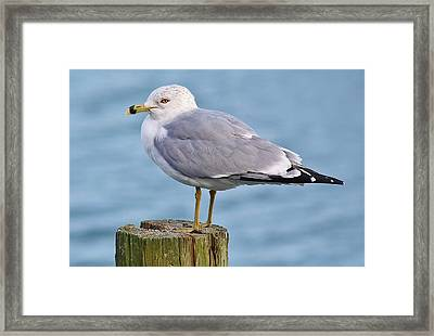 Pretty Sea Gull Framed Print by Paulette Thomas