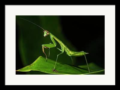 Mantidae Framed Prints