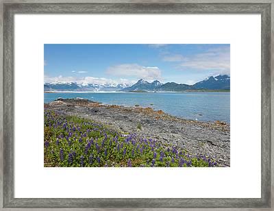 Prince William Sound, Alaska, Lupine Framed Print