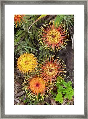Protea, Kula Botanical Garden Framed Print