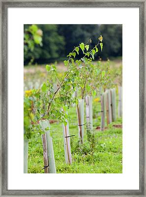 Protected Saplings Framed Print by Ashley Cooper