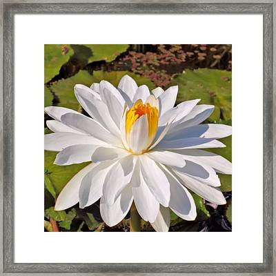 Pure Framed Print by Katherine White
