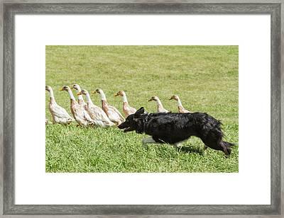 Purebred Border Collie Herding Ducks Framed Print by Piperanne Worcester