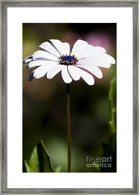 Purple Daisy Framed Print by Jorgo Photography - Wall Art Gallery