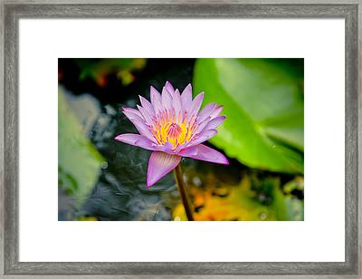 Purple Lotus  Framed Print by Raimond Klavins