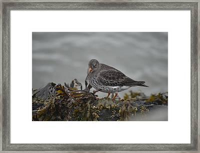 Purple Sandpiper Framed Print by James Petersen