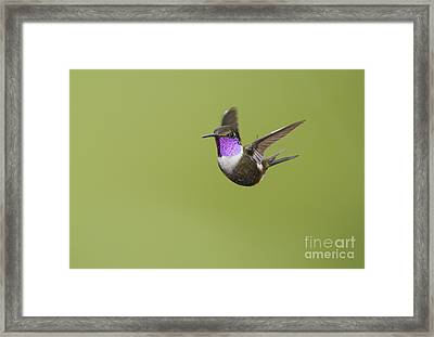 Purple-throated Woodstar Hummingbird Framed Print
