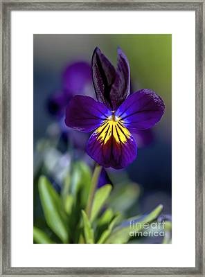 Purple Viola Framed Print