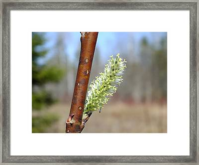 Framed Print featuring the photograph Pussy Willow by Gene Cyr