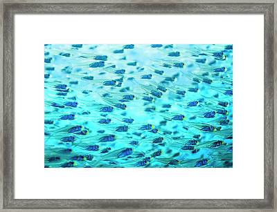 Pygmy Sweepers Framed Print by Georgette Douwma