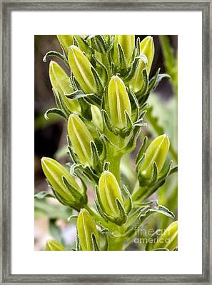 Pyrenean Bellflower Campanula Speciosa Framed Print
