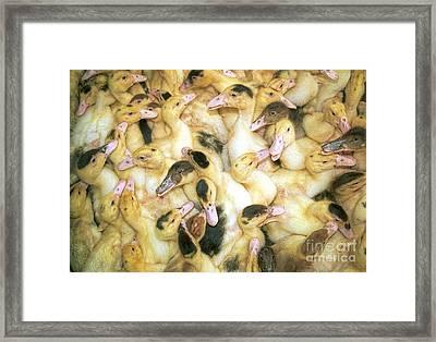 Quacks Framed Print by David Smith