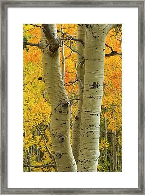 Quaking Aspen In Full Color, Populus Framed Print by Maresa Pryor