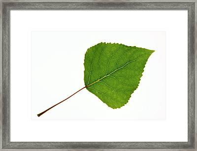 Quaking Aspen Populus Tremuloides Leaf Framed Print by Bjorn Svensson