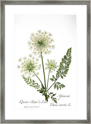 Queen-anne's-lace 2 Framed Print