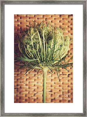 Queen Anne's Lace Framed Print