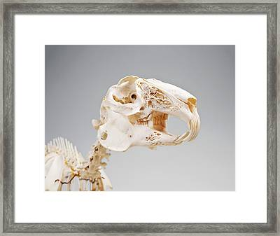 Rabbit Skeleton Framed Print by Ucl, Grant Museum Of Zoology