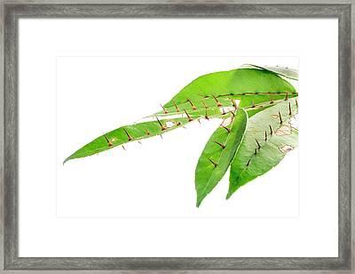 Radix Zanthoxyli (zanthoxylum Nitidum) Framed Print