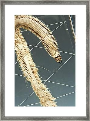 Ragworm Specimen Framed Print