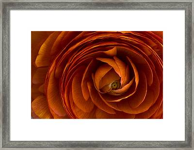 Ranunculus Framed Print by Cindy Rubin