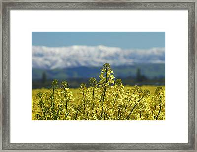 Rapeseed Field, Near Timaru, South Framed Print by David Wall