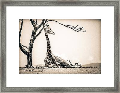 Framed Print featuring the photograph Reclining Giraffe Sepia by Mike Gaudaur