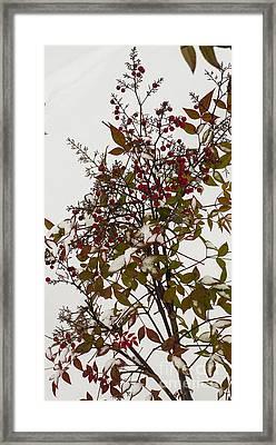 Red Berries In Snow Framed Print