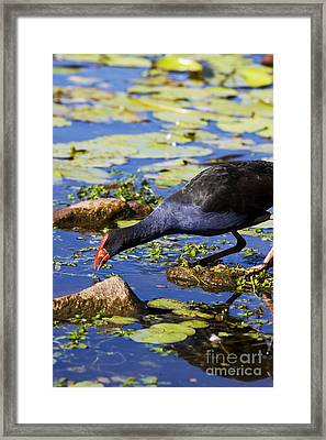 Red Billed Coot Framed Print by Jorgo Photography - Wall Art Gallery