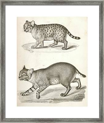 1. Red Cat  2. American Panther., Suckley Framed Print by Artokoloro