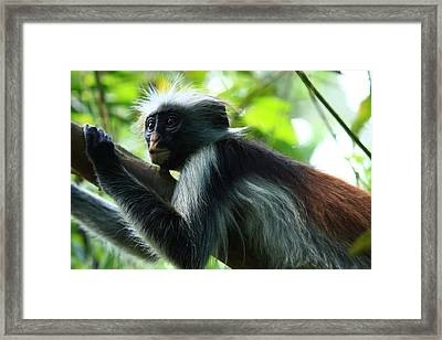 Red Colobus Monkey Framed Print by Aidan Moran