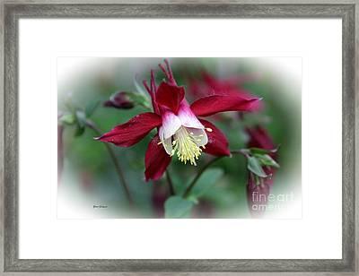 Red Columbine  Framed Print by Yumi Johnson