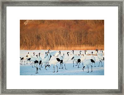 Red Crowned Cranes (grus Japonensis Framed Print