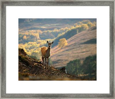 Red Deer Calf Framed Print