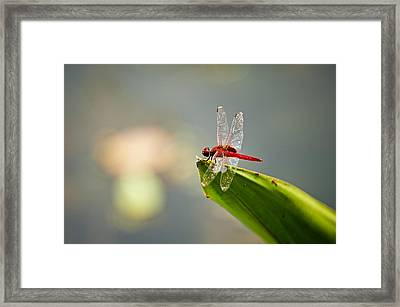 Red Dragonfly Framed Print by Ulrich Schade
