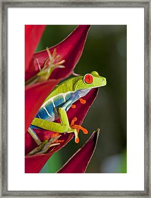Framed Print featuring the photograph Red Eyed Tree Frog 2 by Dennis Cox WorldViews