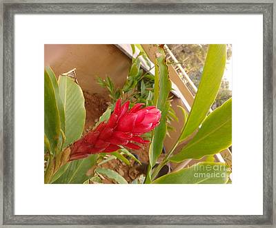 Red Ginger Flower Framed Print by Artist Nandika  Dutt