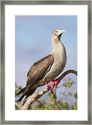 Red-footed Booby In Palo Santo Tree Framed Print by Tui De Roy