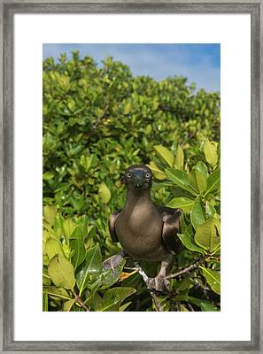 Red-footed Booby (sula Sula Websteri Framed Print