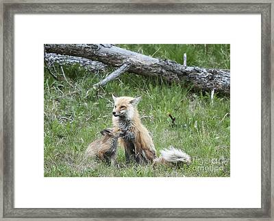 Red Fox And Kit Framed Print by Bob Dowling