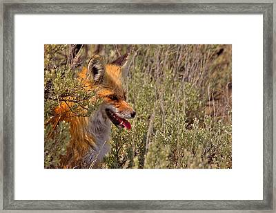 Framed Print featuring the photograph Red Fox In Sage by Aaron Whittemore