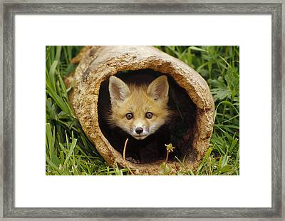Red Fox Kit In Log Aspen Valley Framed Print