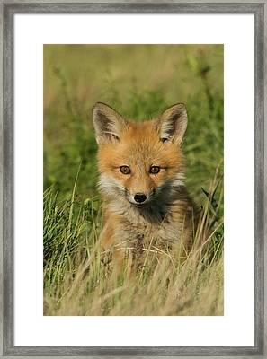Red Fox Kit Framed Print by Ken Archer