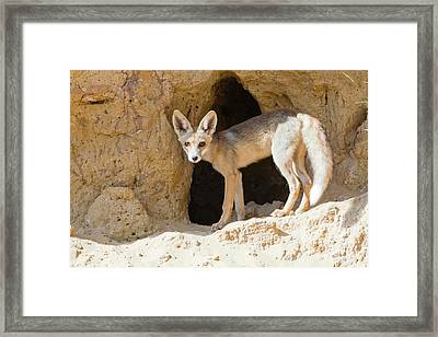 Red Fox (vulpes Vulpes) Framed Print