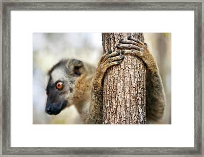 Red-fronted Brown Lemur Framed Print